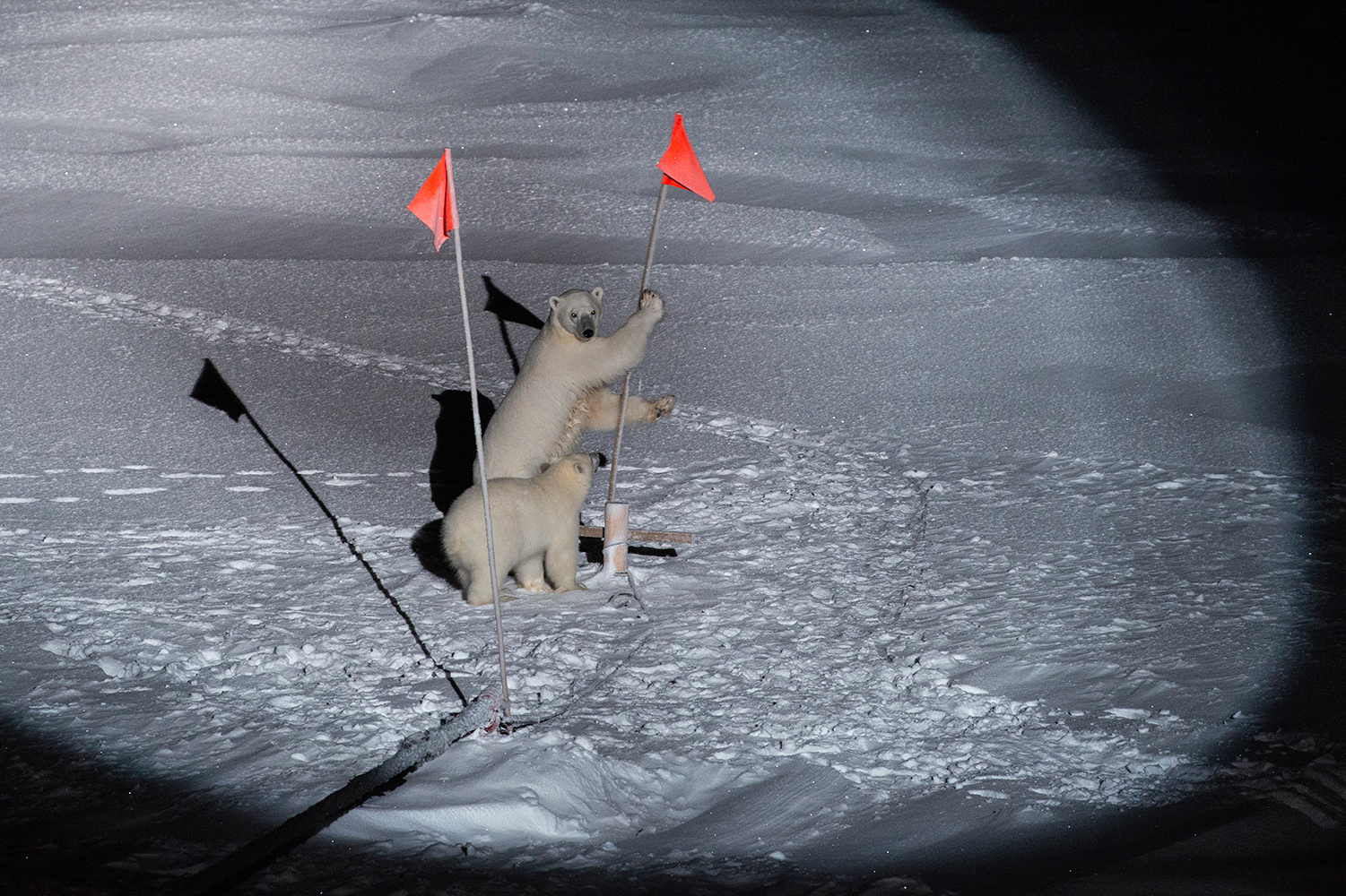 Two polar bears shows interest in field station flags in the dark. They are discovered by spotlights.