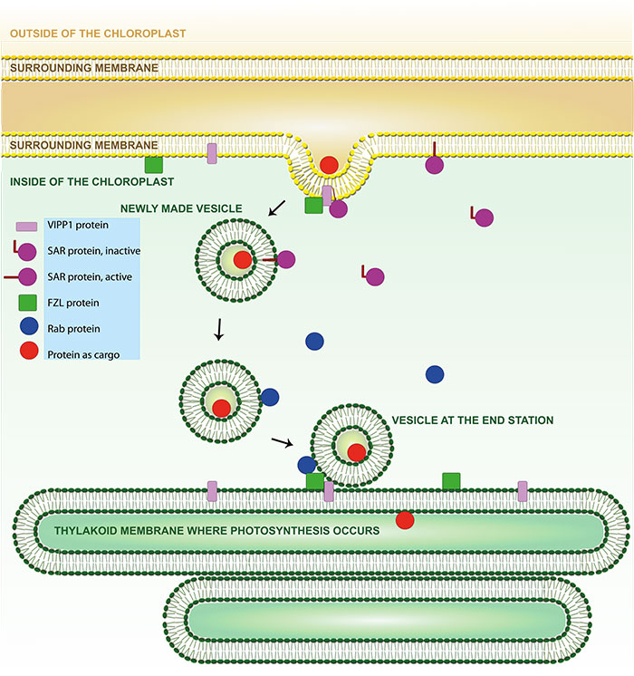 Vesicular transport from the chloroplast membrane to the thylakoid membrane inside the chloroplasts where the photosynthesis occurs. Some proteins proposed to be involved in the transport are shown. VIPP1 (pink) and FZL (green) are found both at the sending and receiving membrane. SAR (purple) supports at the sending membrane – in an active form when forming vesicles and in an inactive form when returning to repeat the work. Rab (blue) supports at the receiving membrane. According to the working hypothesis, protein (red) can be transported as cargo inside the vesicles.