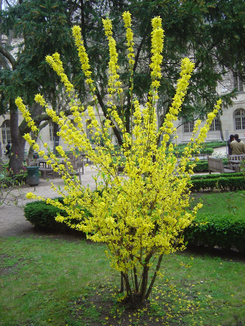 Buske av släktet Forsythia_for_webb